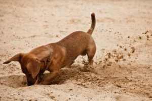 dachshund-digging-5449136_s