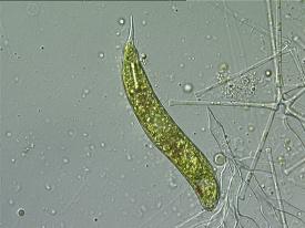 euglena2