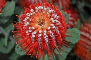 Banksia-Coccinea_web
