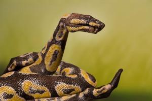 phoca_thumb_l_python-royal