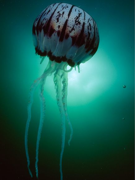 nationalgeographicjellyfish03-purple-striped-jellyfish_17907_600x450