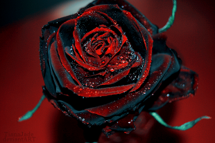 red_and_black_rose_by_tianajade-d2zwb9s1
